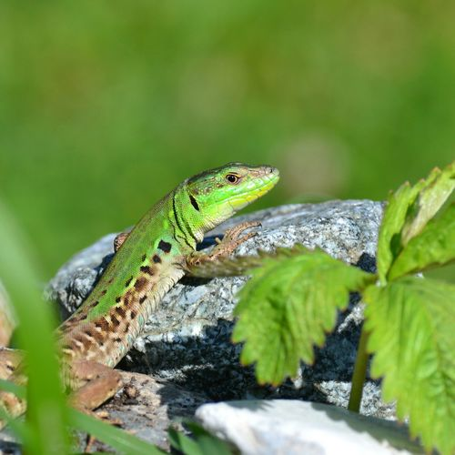 Stone Sunny Day Looking At Camera Reptile Close-up Green Color Lizard Animal Skin Skin Leg