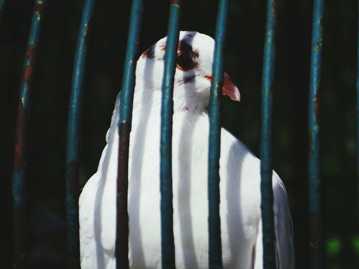 Close-up of white pigeon in cage