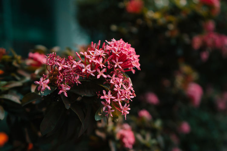 Flowers in Bangkok Flowering Plant Flower Plant Fragility Vulnerability  Beauty In Nature Growth Freshness Petal Pink Color Close-up Focus On Foreground Flower Head Day Outdoors Nature Flowers Thailand Bangkok Pink Pink Flower Pink Flowers Photography