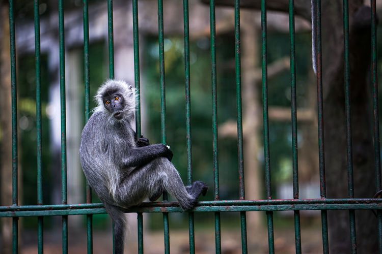 Monkey in the zoo outside the cage Primate Animal Wildlife One Animal Mammal Animals In Captivity Animals In The Wild Vertebrate Zoo Cage No People Focus On Foreground Day Ape Metal Safety Outdoors