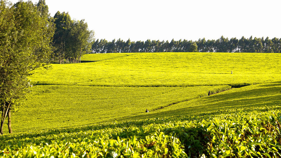 lush... Tea Agriculture Beauty In Nature Clear Sky Day Farm Field Freshness Grass Green Color Growth Landscape Nature No People Outdoors Rice Paddy Rural Scene Scenics Sky Teafarm Teafield Tranquil Scene Tranquility Tree