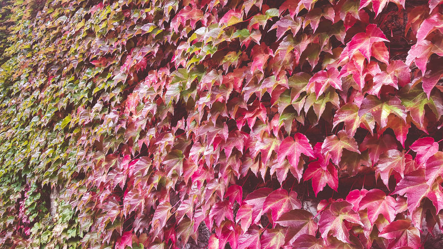 Autumn Full Frame Backgrounds Pink Color No People Close-up Abundance Day Plant Beauty In Nature Nature Multi Colored Leaf Change Plant Part Freshness Autumn Growth Large Group Of Objects Pattern Red Outdoors Autumn Leaves Autumn colors Autumn