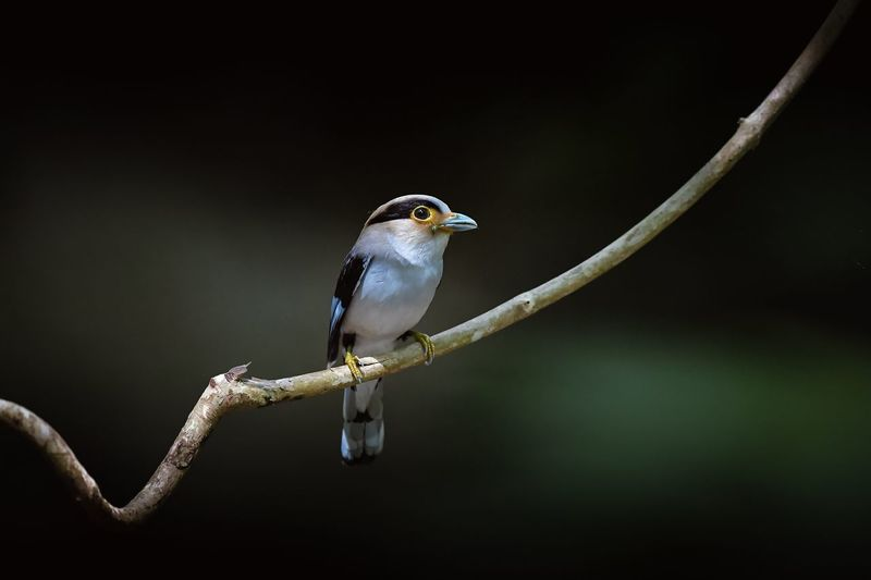 Silver-breasted Broadbill Animal Themes Animal Bird Vertebrate Animal Wildlife Animals In The Wild Perching One Animal Focus On Foreground No People Nature Close-up