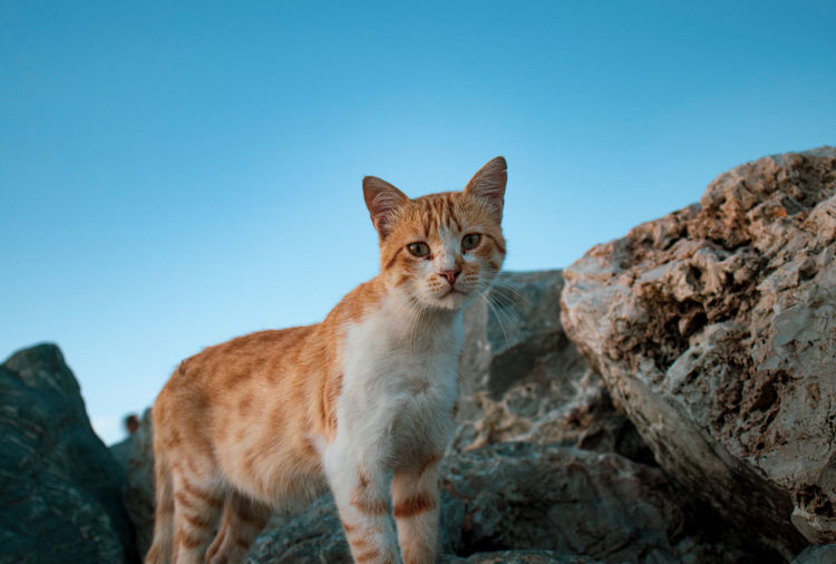 Portrait of cat on rock against clear sky