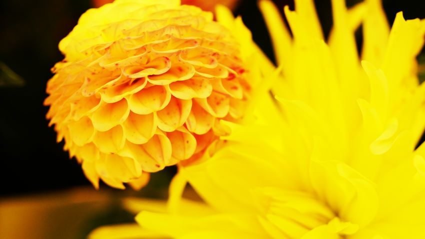 Yellow Flower Freshness Fragility Blütendetail Save The World Blossom My View Flower Power Selective Focus Flower Head