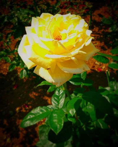 Flower Fragility Petal Nature Rose - Flower Flower Head Yellow Freshness No People Close-up Beauty In Nature Plant Outdoors Day Beauty Park Botanical Garden Japan Photos Beauty In Nature Green Color Yellow Japan Scenics Nature Tree
