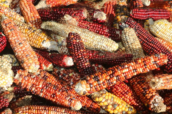 Close Up Nature Indian Corn Backgrounds Full Frame Corn Corn On The Cob Close-up Food And Drink Farmer Market Market