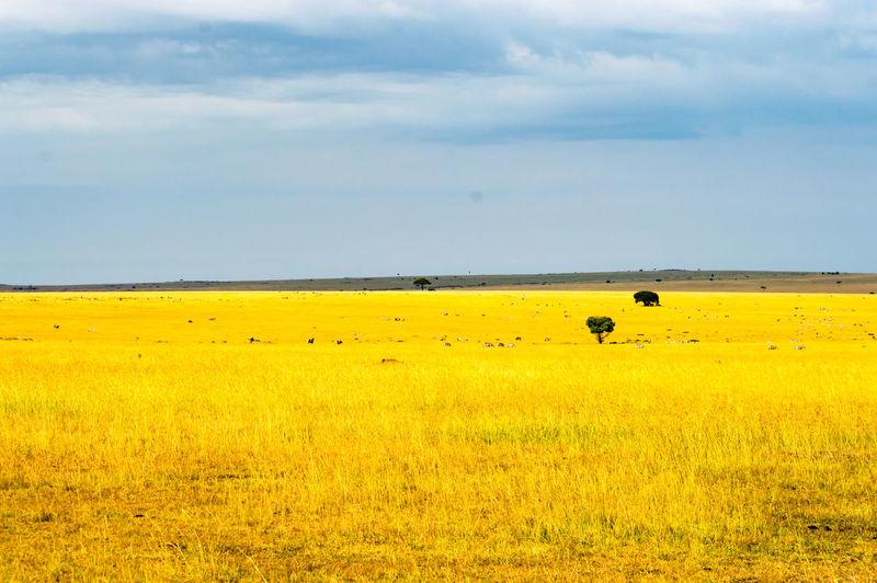 Yellow Field Landscape Nature Tranquil Scene No People Beauty In Nature Scenics Outdoors Agriculture Rural Scene Massai Mara Kenya African Safari African Beauty Savannah Savanna