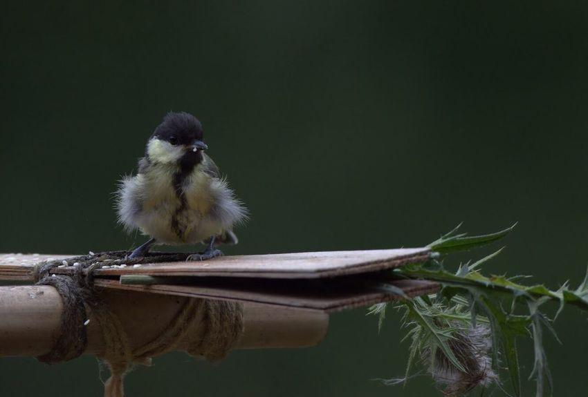 Blaumeise Baby Vogel Singvogel