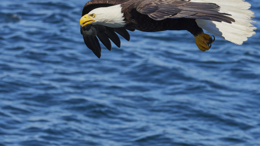 Close-up of eagle flying over sea