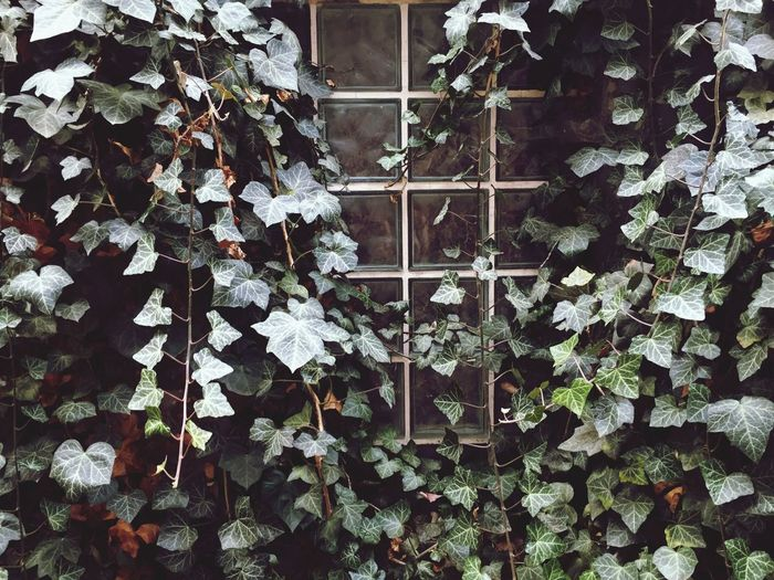 Leaf Plant Growth Day Ivy No People Outdoors Nature Ivy Covered Ivy Wall Vine Romantic Copy Space Dreamy Old Town Old
