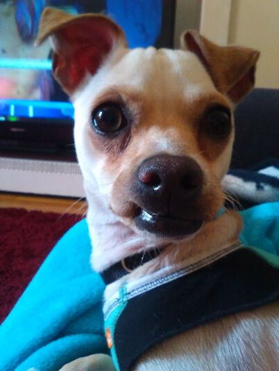 My baby Lovethismug Hello World Thats My Boy  Thats My Dog Chihuahualovers Chihuahuapower Almost A Year Old