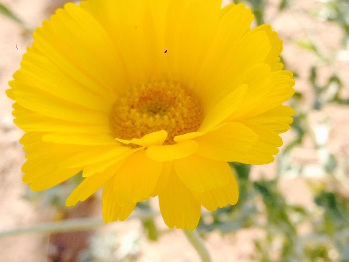 Yellow Yellow Flower Flower Fragility Nature Plant Flower Head Petal Beauty In Nature Eyem Nature Lovers  Thelittlethings