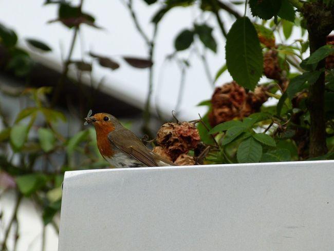 My garden Home Is Where The Art Is My Garden My Garden @my Home My Garden 😊 Enjoying Life My Favorite Place Bird Robin Rotkehlchen Petirrojo Animals Birds in Köln Germany