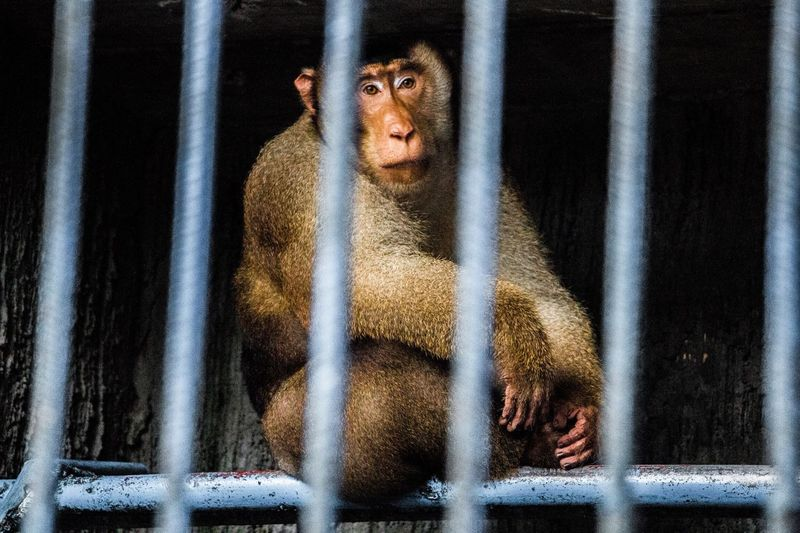 Cage Monkey Animals In Captivity Trapped One Animal Animal Themes Mammal Prison Bars Animal Wildlife Prison No People Animals In The Wild Ape Indoors  Security Bar Nature Day Close-up Japanese Macaque Baboon Pet Portraits