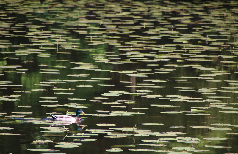 Green Color Nenuphar Animals In The Wild Beauty In Nature Day Duck Floating Floating On Water Green Color Lake Leaf Mallard Duck Motion Nature No People Outdoors Reflection Springtime Water Waterfront