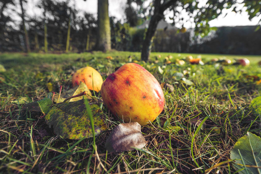 Plant Food Healthy Eating Growth Nature Food And Drink Land Grass Fruit Field No People Freshness Day Focus On Foreground Close-up Tree Beauty In Nature Outdoors Wellbeing Selective Focus Apple