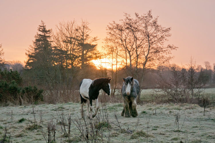 Two horses in a frosty field at sunrise