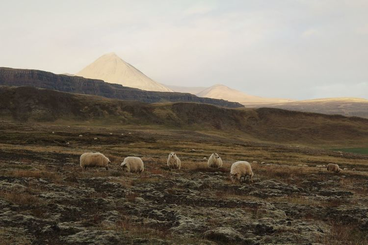 Sheep in a field in iceland