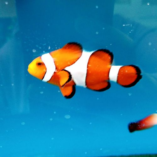 A Striking Close-up of a Bright Orange and Black Clownfish with a Blue Background . Featuring No People Animal Wildlife Underwater Day Water Swimming Aquarium Indoors  Animal Themes Beauty In Nature Striking Beautiful Focus On Foreground FishEyeEm Fish Nature