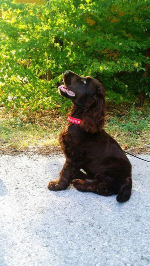 Dog Love Dog Doggy Cocer_spaniel Brown Eyes Brown Dog Sunny Day Holidays