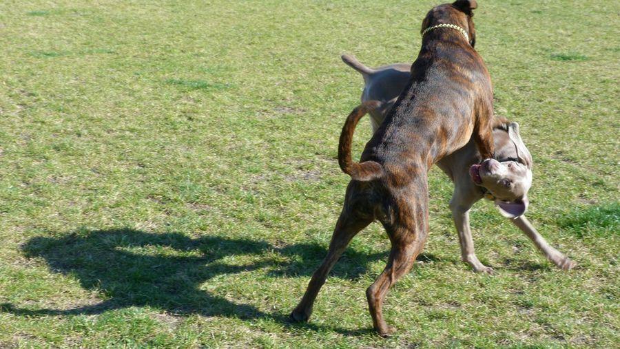 Boxer Dog Weimaraner Playing Fun Dog❤ Boxerlove Playing Dogs