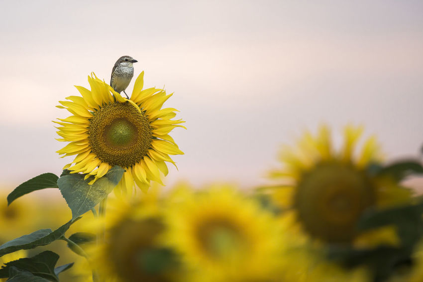 [Canon EF 300mm f/2.8 L IS II USM] Yellow Flower Animal Themes Animals In The Wild Beauty In Nature Bird Blooming Flower Flower Head Fragility Freshness Growth Little Bird Nature One Animal Outdoors Petal Plant Singing Bird Sunflower Yellow
