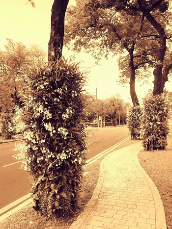 Sideways Sidewalk Along The Way Tree Ornamental Plant Plant On Tree Orchid Orchid On Tree Orchid Flower Orchids Collection View View Photography Landscape Landscape Photography Perspective Perspective Photography Nature People On The Sidewalk Nature Photography Flower On The Tree Flower Collection Latte Latte Tone Latte Photography Latte Tree