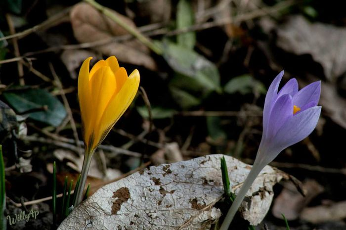 Crocus Crocus Flower Crocuses Crocus Flowers Natur Pur EyeEm Nature Lover Naturephotography Nature Photography Naturelover EyeEm Best Shots - Nature Nature_collection Nature_perfection Flower Nature Yellow Blooming Nature Flower Head Outdoors