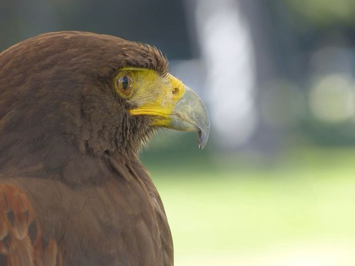 Side View Of Golden Eagle