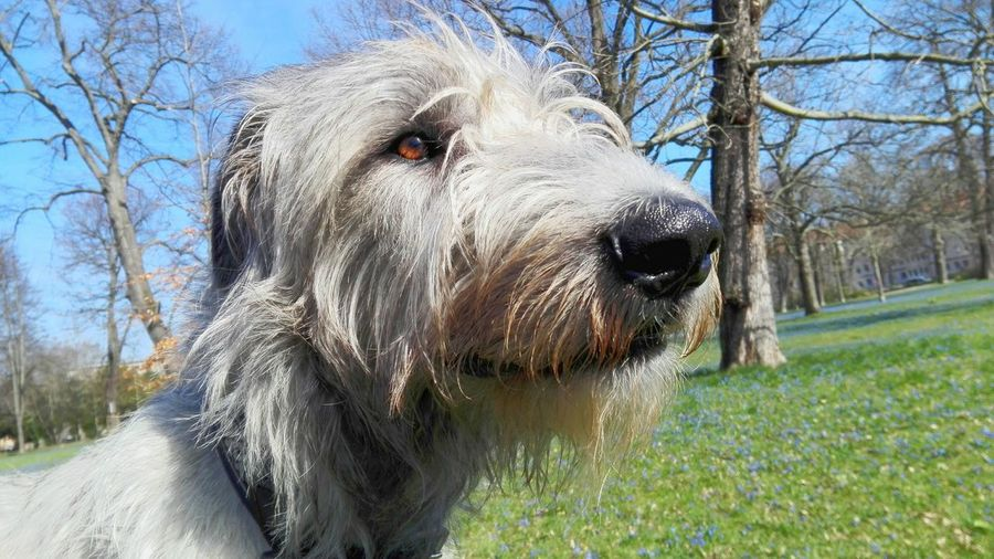 One Animal Animal Themes Outdoors Sky Sunlight Spring Is In The Air Springtime The Place ı've Been Today March 2017 Spring 2017 How Is The Weather Today? Bokeh A Walk In The Park Flower Dogs Of Spring Cearnaigh Irish Wolfhound Dogslife Dogs Of EyeEm Dog Of The Day Dogwalk Dog City