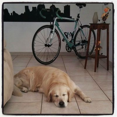 Training Triathlontraining TRIATHLON Goldenretriever amiciaquattrozampe