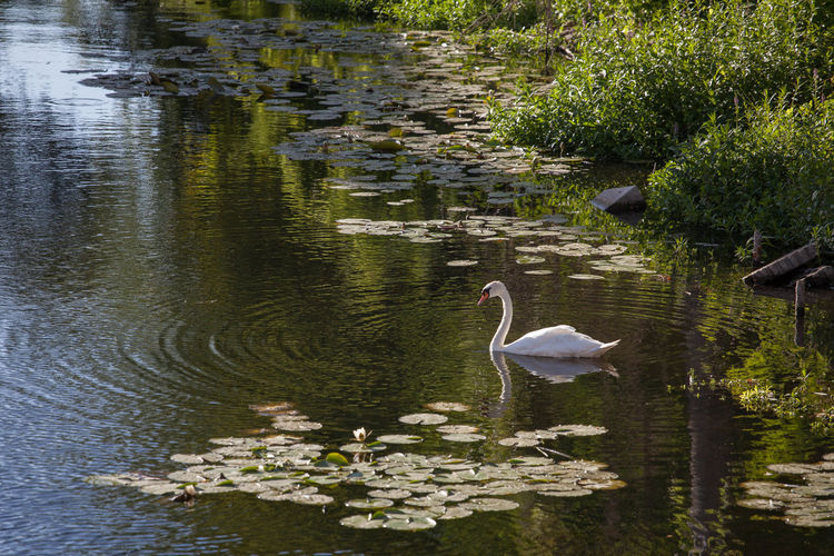 view of swan in