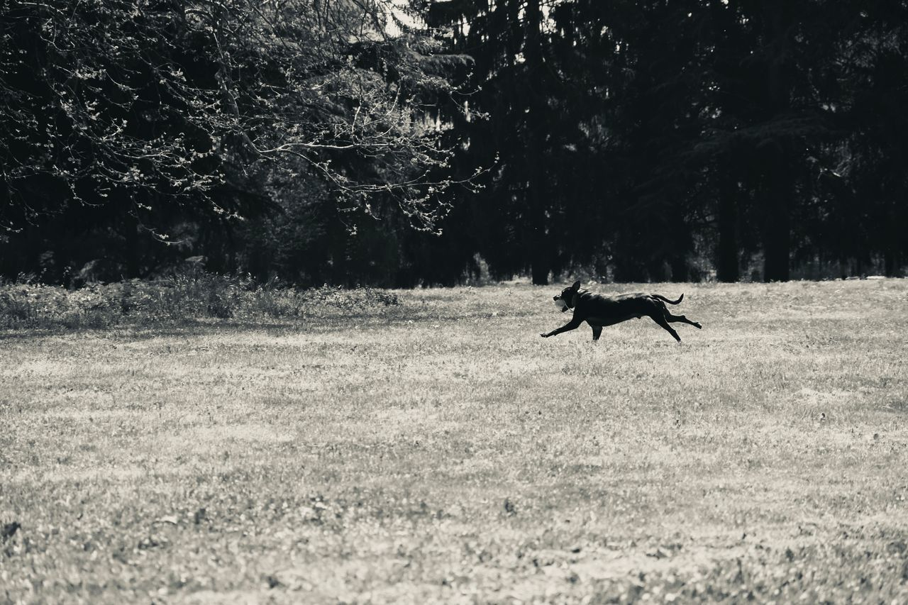VIEW OF DOG RUNNING ON FIELD