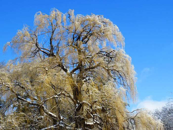Willow tree covered of ice sparkling with a blue sky Sky Plant Tree Low Angle View Beauty In Nature Nature No People Day Tranquility Branch Blue Cold Temperature Clear Sky Winter Snow Growth Outdoors Tranquil Scene Bare Tree Change Willow Tree