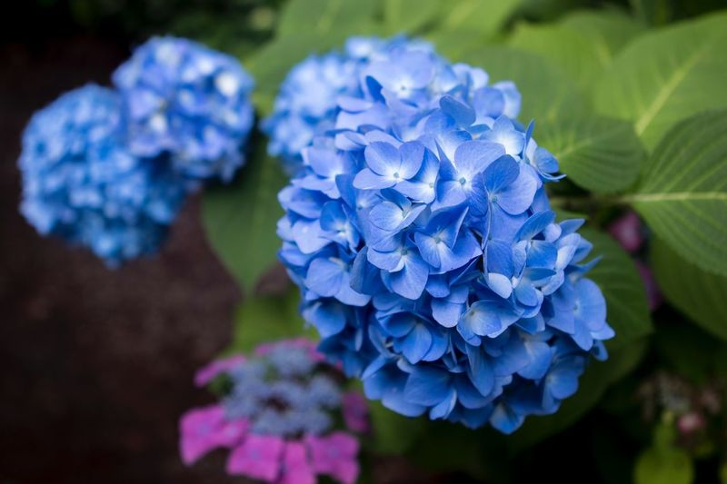 Close-Up Of Blue Hydrangea Flowers