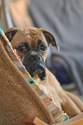 Animal Themes Boxer Dog Boxer Dogs Breed Breeds Close-up Day Dog Domestic Animals Indoors  Looking At Camera Mammal No People Old Dog One Animal Pedigree Pets Portrait