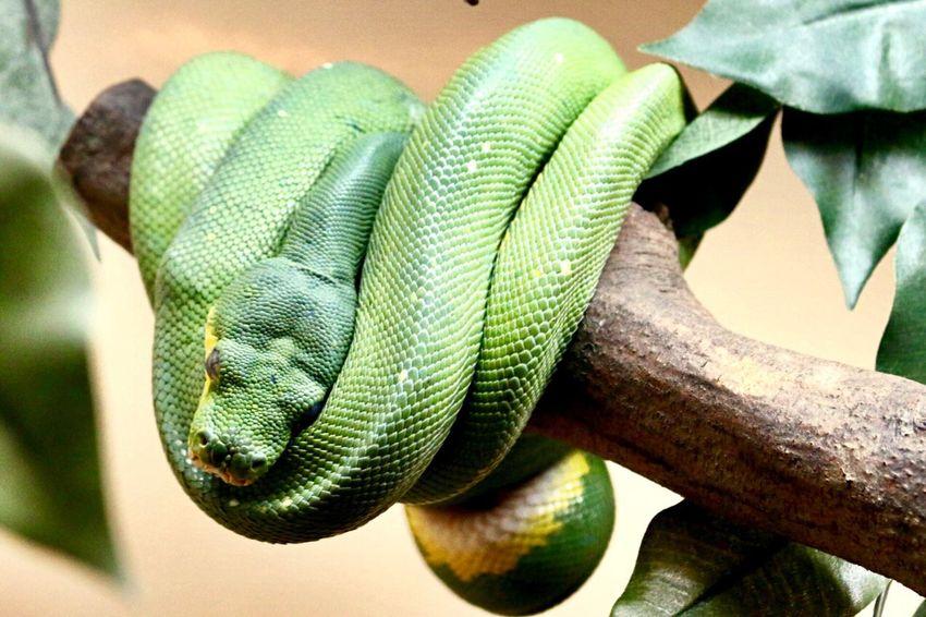 Beautiful snake at the Philadelphia Zoo Philadelphia Boa Serpent Zoo Science Reptile Close-up Green Color Animal Themes Animal Day Animal Wildlife Snake Vertebrate Focus On Foreground Plant One Animal Nature Tree The Still Life Photographer - 2018 EyeEm Awards