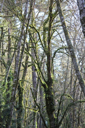Moss & Lichen Pacific Northwest  Pacific Northwest Beauty Beauty In Nature Branch Day Forest Freshness Growth Low Angle View Moss Nature No People Outdoors Sky Tree