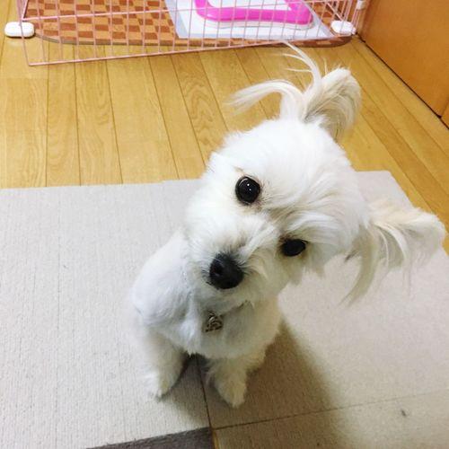 ? はてな ん? Question Dog Pomapoo Tiara
