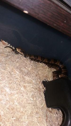 false watercobra Hydrodynastesgigas Hydrodynastes Gigas Snake Snakes Rearfanged Rearfangedsnake King Beautuful