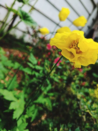 Flower Yellow Plant Fragility Blossom Springtime Growth Petal Outdoors No People Close-up Flower Head Beauty In Nature Blooming Love Of Flowers Plant Green Color