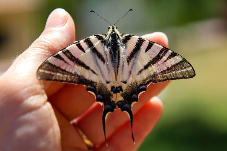 Papilio Machaon Human Hand Butterfly - Insect Insect Close-up Butterfly Arthropod Animal Wing Invertebrate Animal Markings
