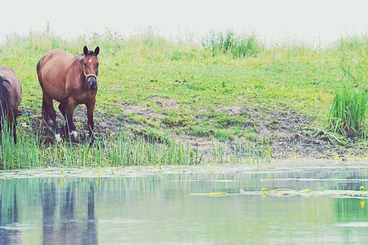 Lithuania Horse Nature Photography Love Morning Colours Of Summer Pakruojis Lifeislife