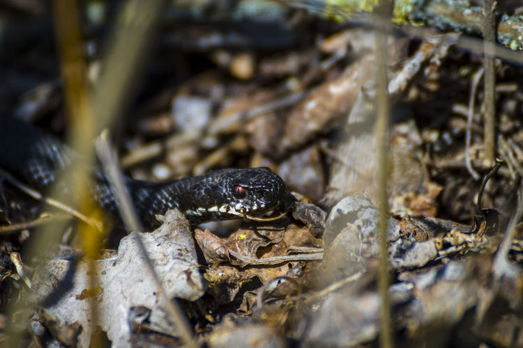 Adder in the bushes Amphibian Animal Animal Body Part Animal Themes Animal Wildlife Animals In The Wild Close-up Day Frog High Angle View Nature No People One Animal Outdoors Reptile Selective Focus Snake Vertebrate Water Zoology