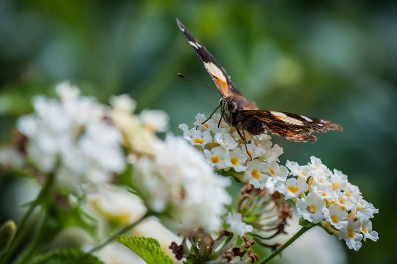 Butterfly Flower Perching Butterfly - Insect Springtime Insect Close-up Animal Themes Plant In Bloom Plant Life Flower Head