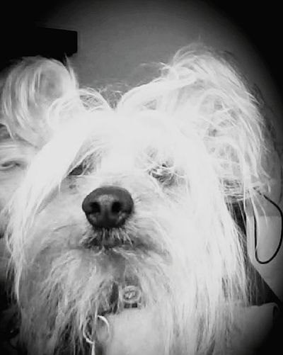 My best friend Chinese Crested Dog Bestfriend Black & White Vignette