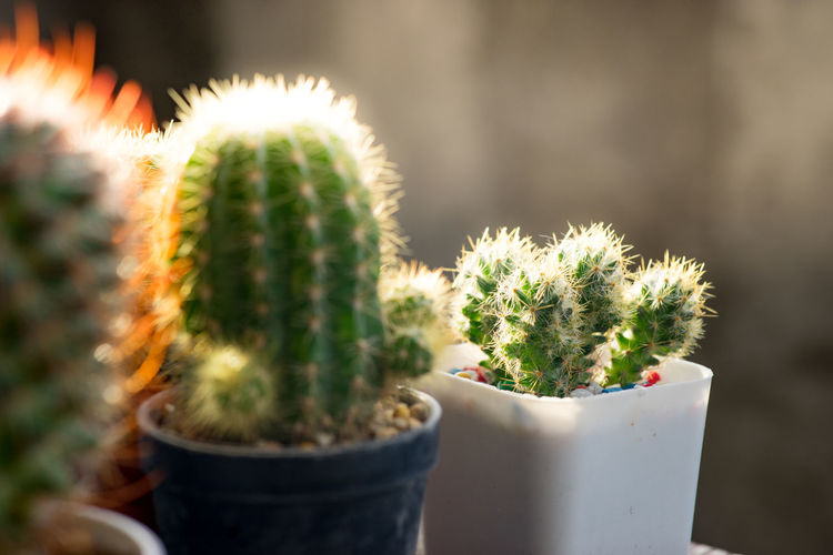 Many cactus pots are set on wooden boards. Cactus Plant Succulent Plant Potted Plant Thorn Growth Nature Flower Pot Outdoors Barrel Cactus Close-up No People Beauty In Nature Spiked Focus On Foreground Green Color Sharp Day Warning Sign Botany