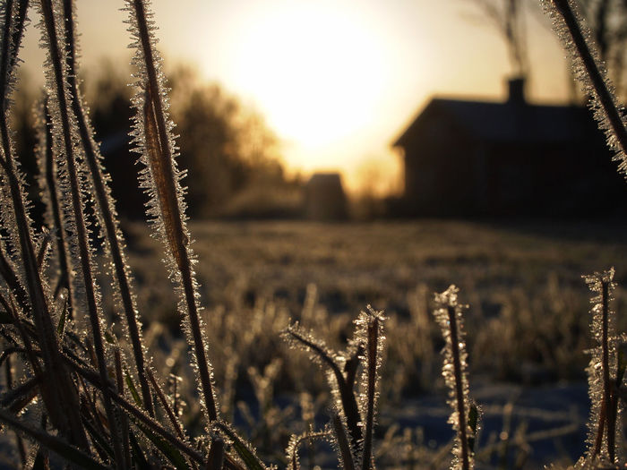 Down to Earth - frosty view Close to the ground the frosty grass frames the rural view of an old Swedish cottage. Frost Grass Low Angle View Rural Agriculture Autmn Beauty In Nature Building Exterior Close-up Cold Temperature Day Field Focus On Foreground Frosty Growth Nature No People Outdoors Rural Scene Sky Snow Tranquility Winter