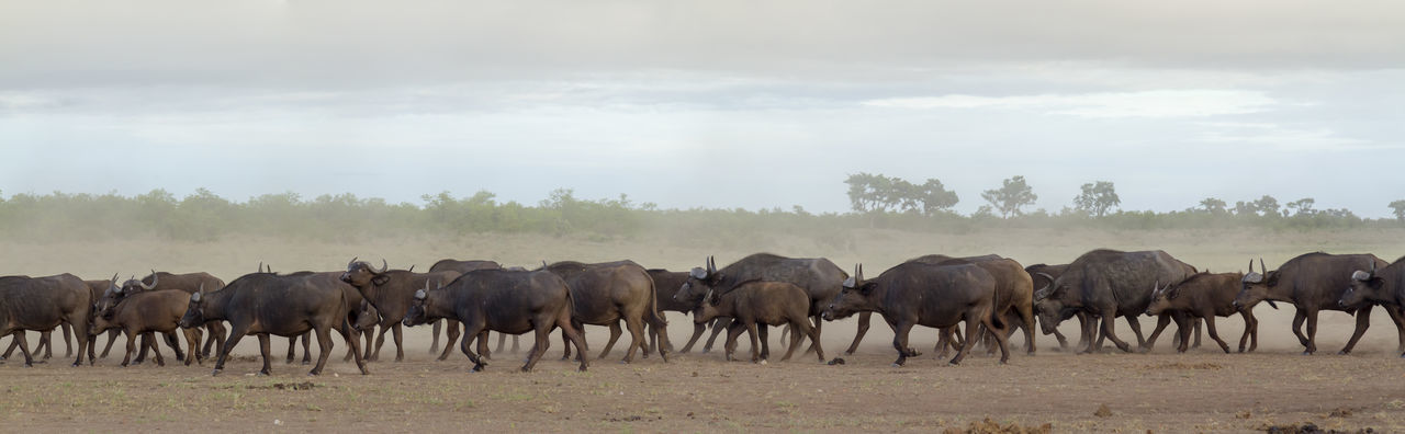 Panoramic view of water buffalo in forest against sky